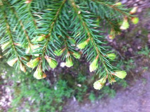 Woodland Ways Foraging Courses - Young growth on Norway Spruce