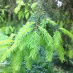 Young growth on Norway Spruce