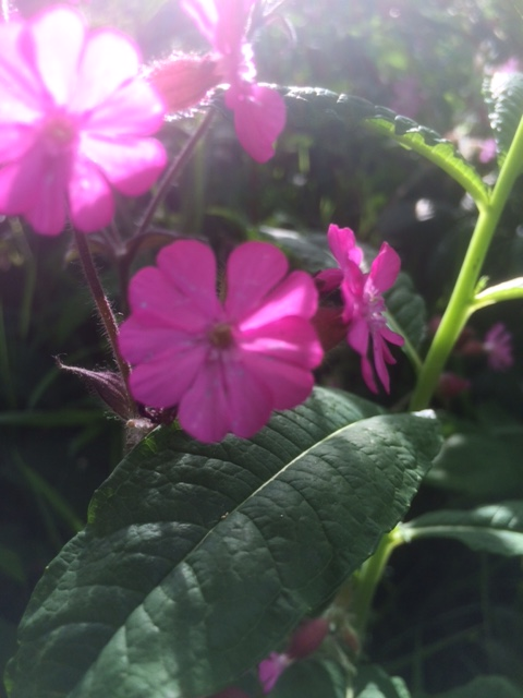 red campion flower