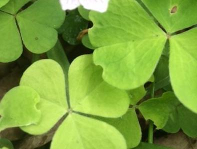 wood sorrel leaf