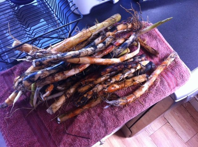 cattail root washed