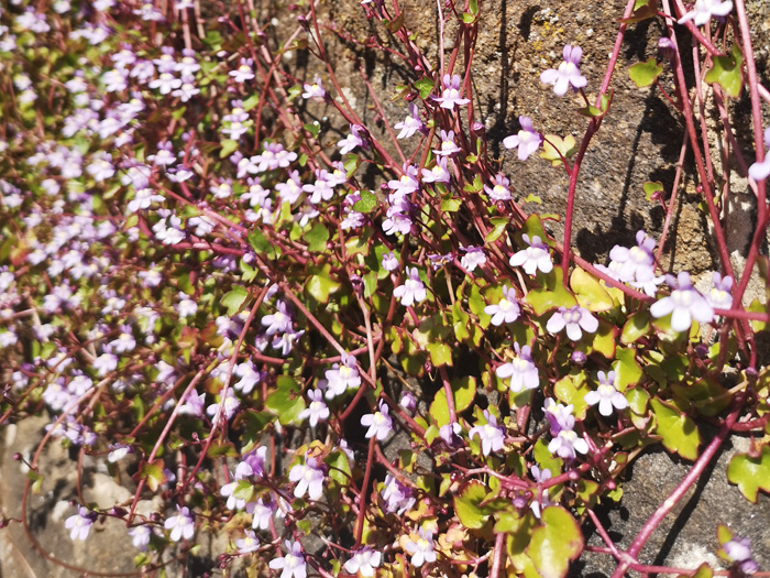 Ivy-Leaved Toadflax plant