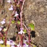 Ivy-Leaved Toadflax flower