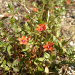 Scarlet Pimpernel Flower