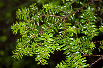 Hemlock leaves