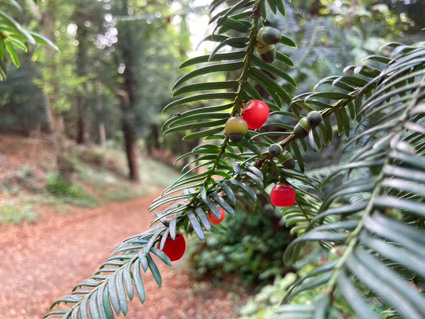 Yew Foliage and Berries