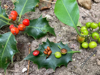 Holly - Berry and Seeds