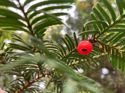 Yew - Red Berry