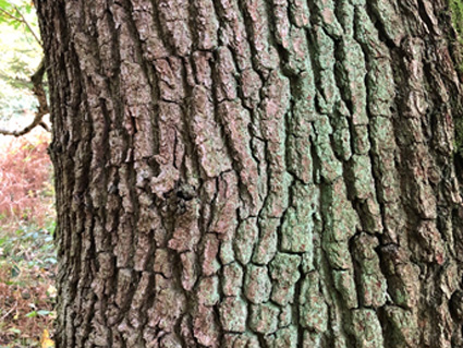 Typical bark from an Oak.