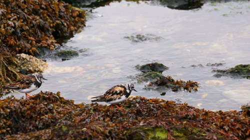 Ruddy Turnstone on the beach at Dunoon, Argyle and Bute