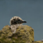 Herring Gull Chick in St Abbs Harbour, Berwickshire