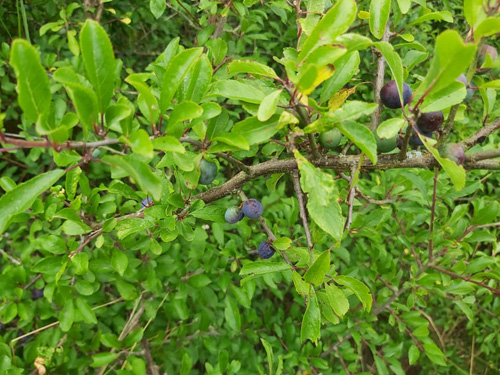 Blackthorn, provides good stockproof hedge suited to cattle and later, sloe gin