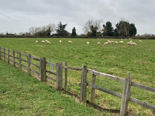 Sheep grazing in field, Hedgerow replaced by wooden fence lasting 8-10 years, in disrepair an electric fence now sits behind it. A stockproof hedgerow only needs laying every 10-20 years, and will not rot or use electricity