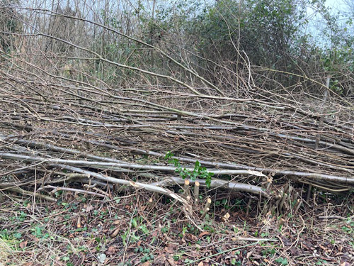 Laid hedge, stools cut to use as supporting stakes