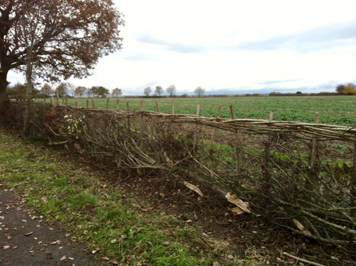 There are many regional styles of hedge, this is the Midland style hedge, with hazel binders at the top, running horizontally between the stakes to make a very sturdy hedge