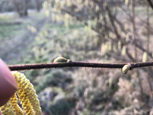 Hazel buds are compact, with red-green scales and have a distinctive hairiness on the stems
