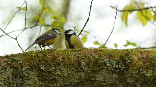 Juvenile Begging for and being fed by parent Great Tit - photo Stuart Wedge
