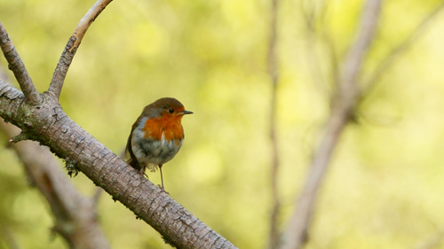 Robin after hooking to a perch - photo Stuart Wedge