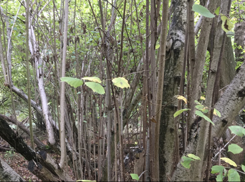 Straight rods in a neglected coppice stool often die back with no direct sunlight.