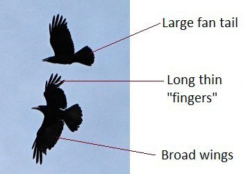 Crows in flight - Image courtesy of Public Domain Photos
