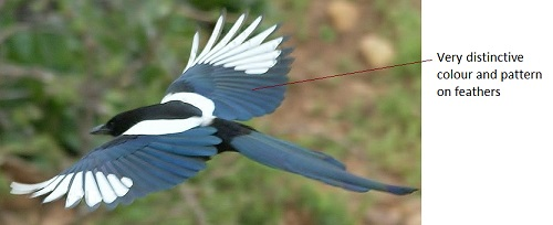 Magpie in flight - Image Courtesy of chumlee10